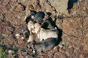 schlittenhunde-in-groenland-5.jpg