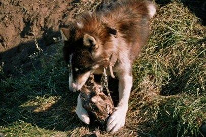 schlittenhunde-in-groenland-10.jpg