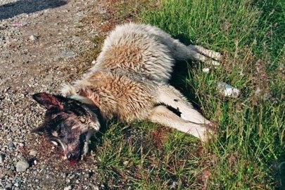 schlittenhunde-in-groenland-16.jpg