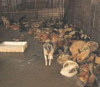 Comida China many-dogs