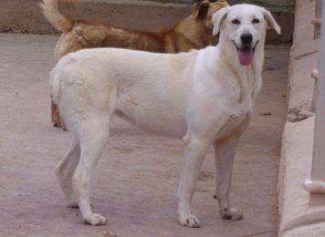 """""""Blanca"""", weiblich, kastriert, Labrador-Herdenschutzhund, geb. 01.02.17, 63 cm"""