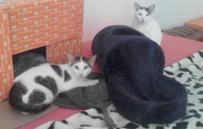 """""""Bruce"""" (geb. 01.08.16) und """"Balou"""" (geb. 01.03.17), männlich, kastriert, Hauskatzen, aus einer Pflegestelle bei Kronach"""
