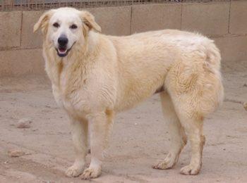 """""""Nieve"""", weiblich, kastriert, Golden Retriever-Herdenschutzhund, geb. 01.02.17, 60 cm"""