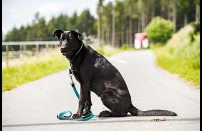 """""""Balou"""", weiblich, Labrador-Malinois-Mix, 2,5 Jahre, 67 cm, aus dem Landkreis Kronach, sucht neue Familie!"""
