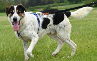 """""""Ringo"""", männlich, kastriert, Rafeiromix (Herdenschutzhund), geb. 01.09.17, 65 cm"""