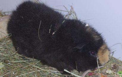 """""""Kyrbie"""", männlich, kastriert, Meerschweinchen, geb. 08/18"""