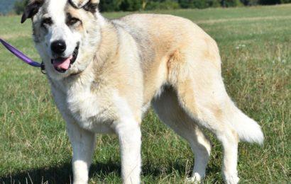 """""""Ronda"""", weiblich, kastriert, Husky-Herdenschutzhund, geb. 22.04.17, 60 cm"""