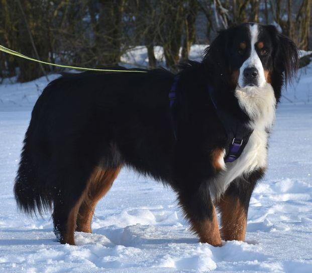 """""""Benny"""", männlich, kastriert, Berner Sennenhund, geb. 20.01.18, 65 cm"""