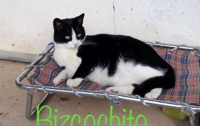 """""""Bizcochito"""", männlich, kastriert, Hauskatze, geb. 08/16, aus einer Pflegestelle in Süddeutschland"""