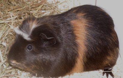 """""""Liesl"""", weiblich, Meerschweinchen, geb. 29.10.20"""