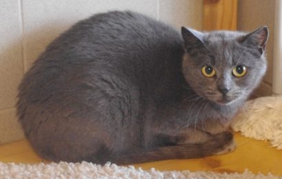 """Shima"", weiblich, kastriert, Hauskatze, blaugrau, geb. Herbst 19"