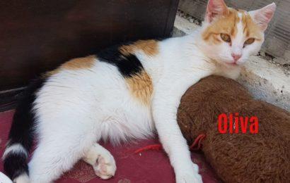 """""""Oliva"""", weiblich, kastriert, Hauskatze, geb. ca. 04/17, derzeit noch im Tierheim Sierra Nevada/Spanien"""