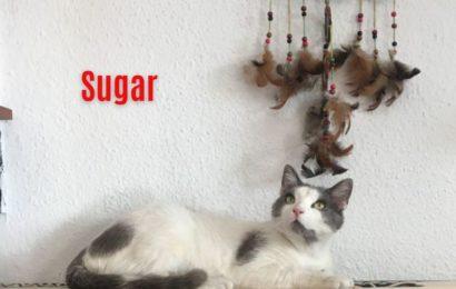 """""""Sugar"""", männlich, kastriert, Hauskatze, geb. 05/19, derzeit noch im Tierheim Sierra Nevada/Spanien"""