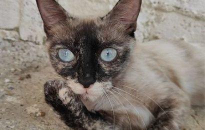 """""""Génova"""", weiblich, kastriert, Siammix, geb. 01/20, derzeit noch im Tierheim Sierra Nevada"""