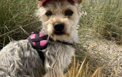 """""""Kanan"""", männlich, kastriert, Yorkshire Terrier, geb. 04/20, 30 cm, derzeit noch im Tierheim Sierra Nevada"""