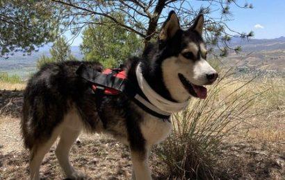 """""""Rissoto"""", männlich, kastriert, Husky, geb. 06/17, 65 cm, derzeit noch im Tierheim Sierra Nevada"""