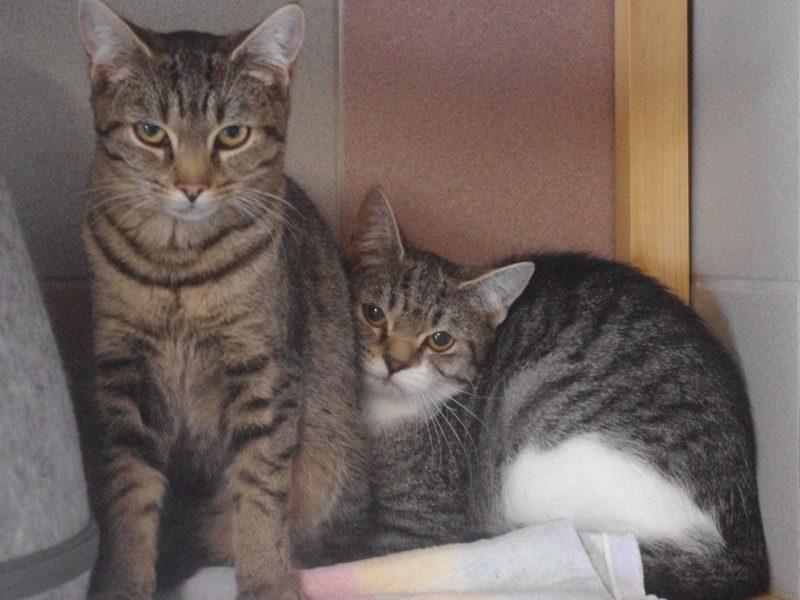 """""""Ari, Adela und Adara"""", ein Kater, zwei Weibchen, alle kastriert, Hauskatze-Bengal-Mischlinge, geb. Ende 01/21"""