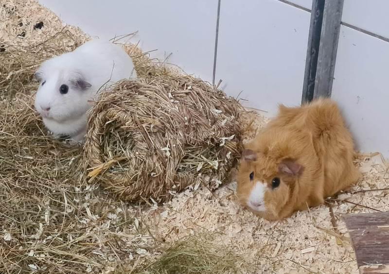 """""""Darcy und Daffy"""", weiblich, Meerschweinchen, Alter unbekannt"""