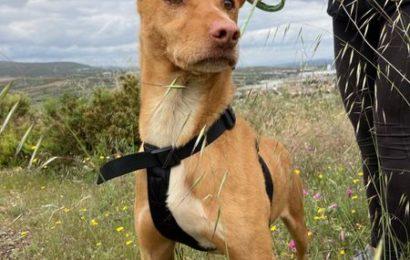 """""""Rubio"""", männlich, kastriert, Podenco, geb. 10/17, 53 cm, derzeit noch im Tierheim Sierra Nevada"""